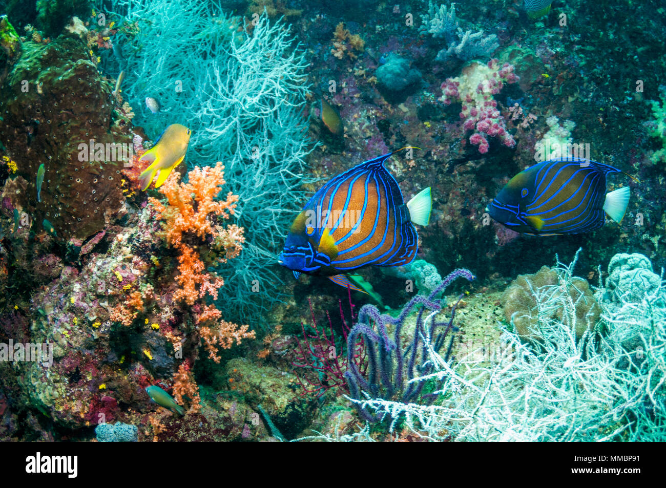 Blue-ringed angelfish [Pomacanthus annularis] pair swimming over coral reef with black coral.  West Papua, Indonesia. Stock Photo