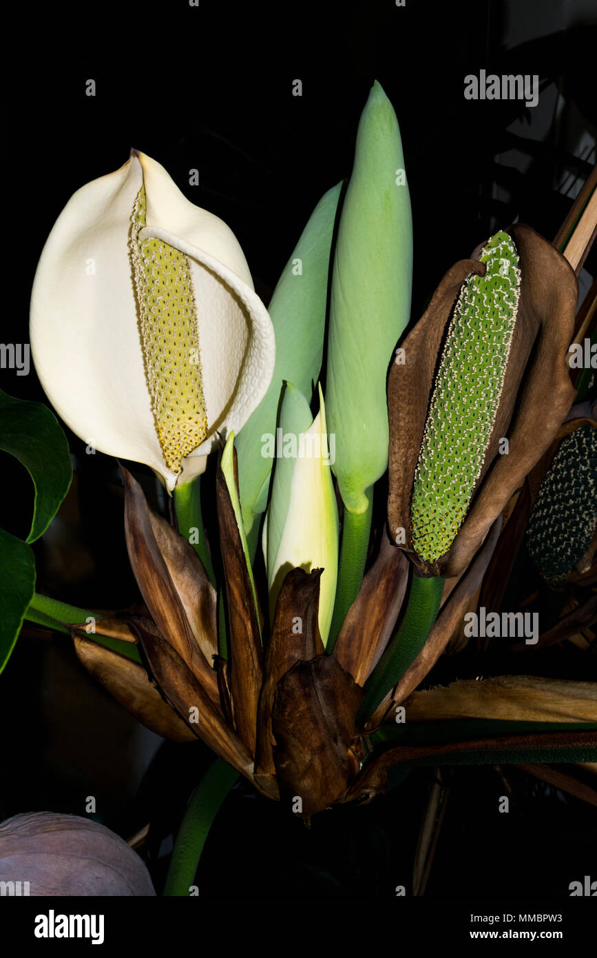 Cheese plant or Mexican bread plant.  (Monstera deliciosa).  (Araceae).  Alternative Botanical Name: Philodendron pertusum.  Monstera is a popular fol - Stock Image