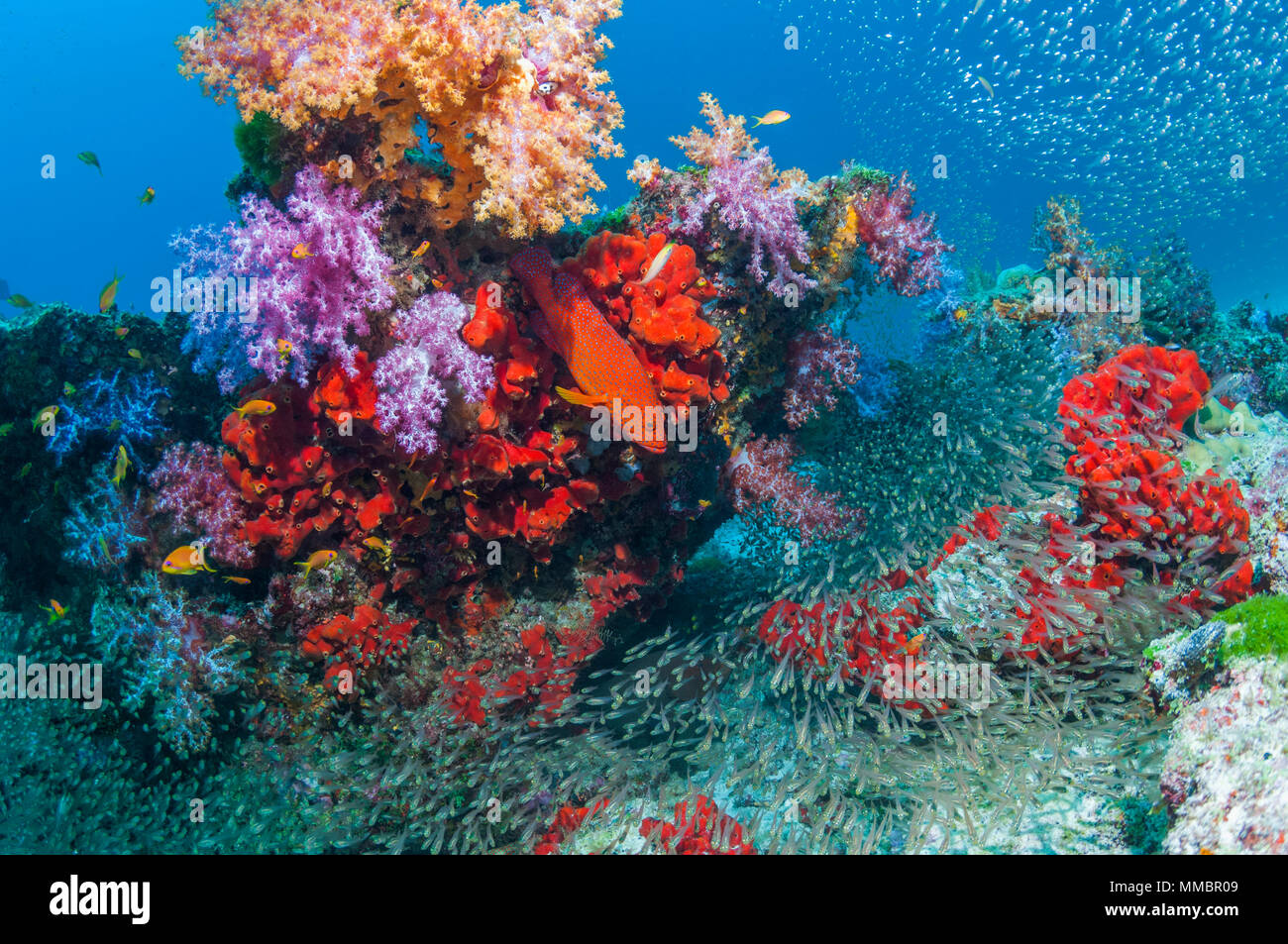 Coral reef with soft corals [Dendronephthya sp.], encrusting sponges and Slender cardinalfish.  Similan Islands, Andaman Sea, Thailand - Stock Image