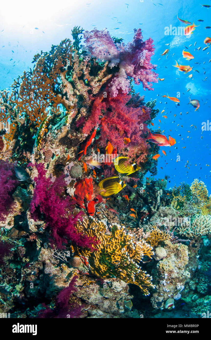 Coral reef scenery with Red Sea raccoon butterflyfish [Chaetodon fasciatus], Lyretail anthias or Goldies [Pseudanthias squamipinnis] and soft corals.  - Stock Image