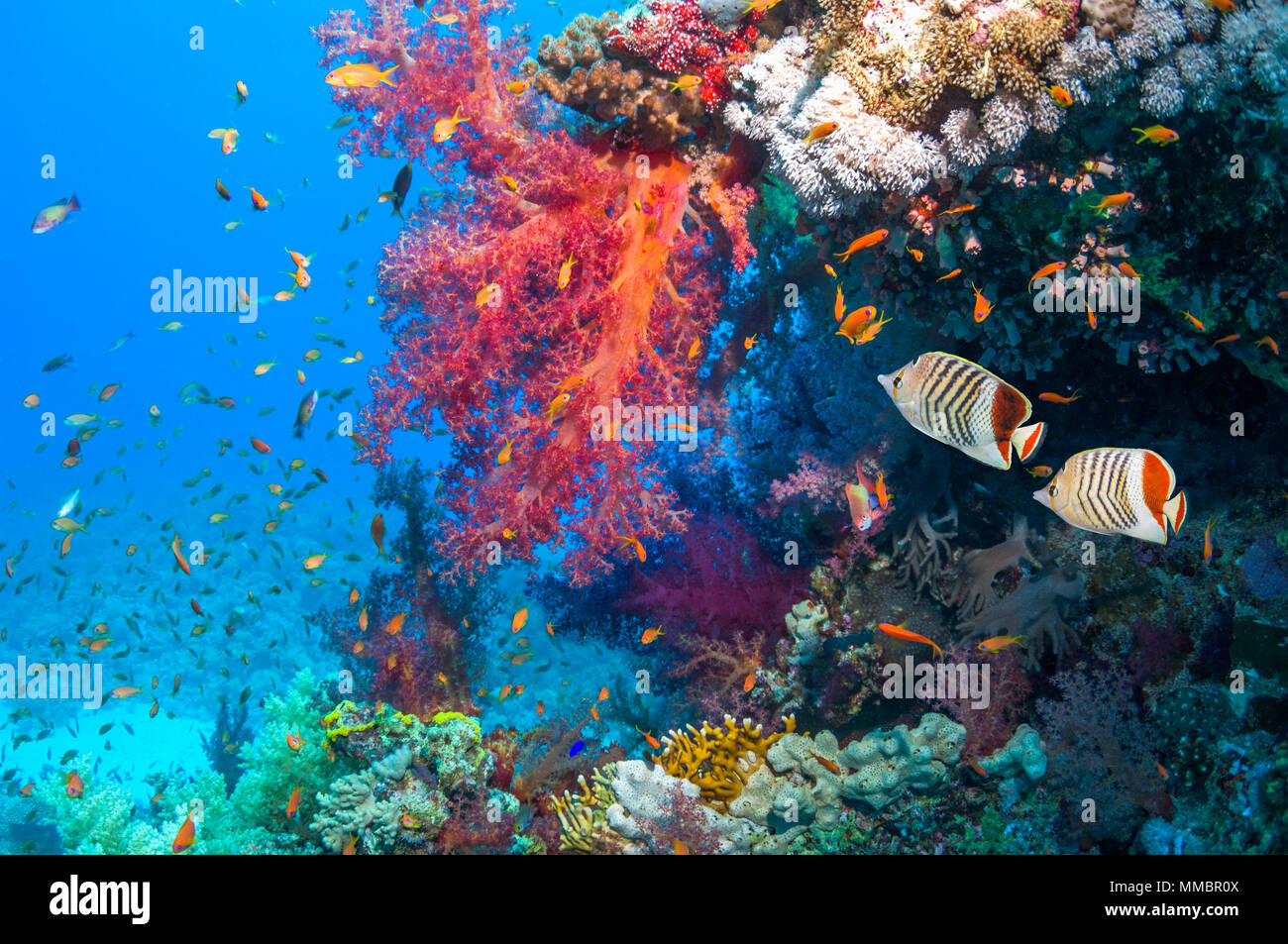 Coral reef scenery with a pair of Red Sea Eritrean or Crown butterfish [Chaetodon paucifasciatus], Lyretail anthias or Goldies [Pseudanthias squamipin - Stock Image