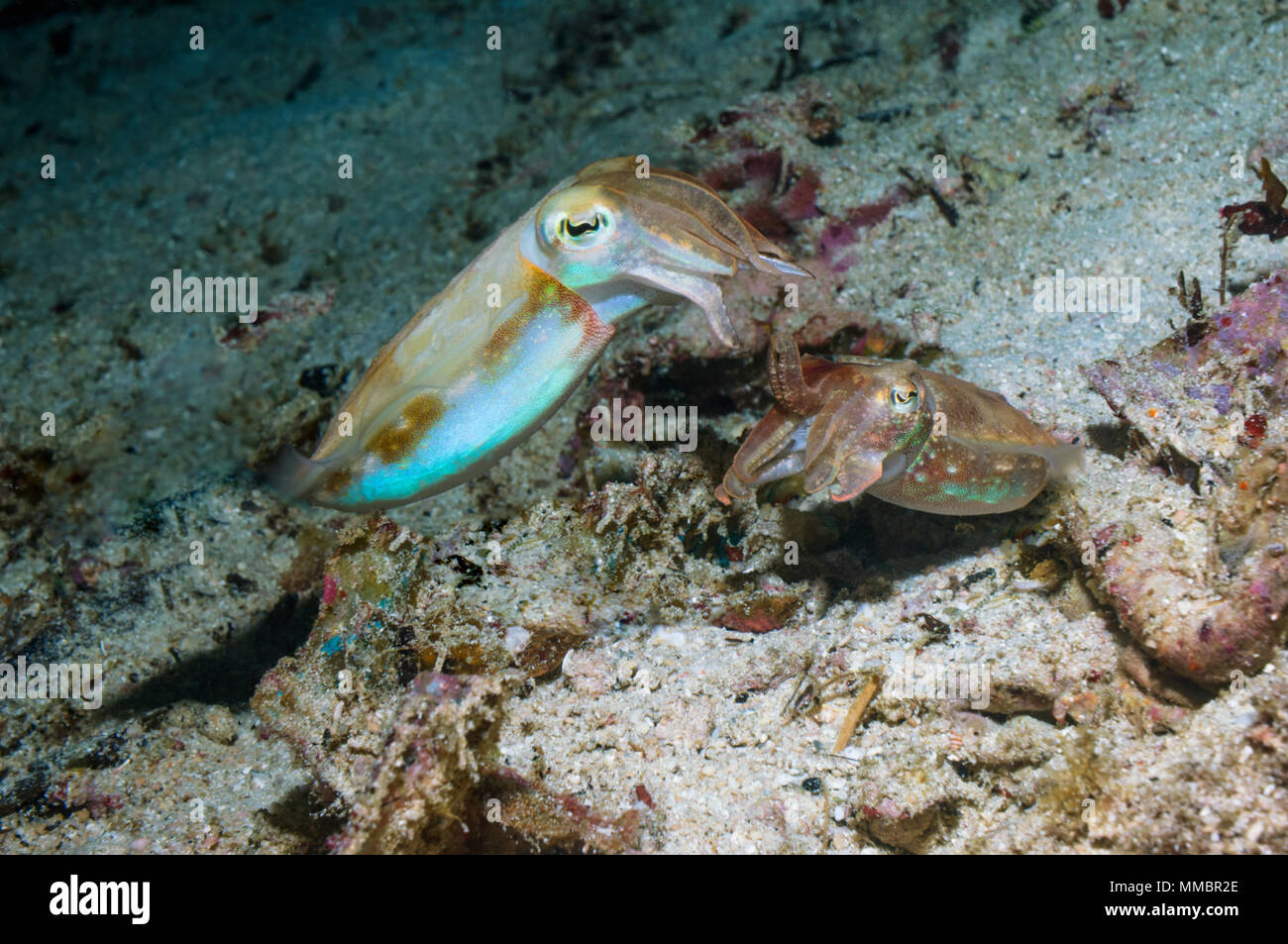 Papuan cuttlefish [Sepia papuensis], courting pair.  West Papua, Indonesia. - Stock Image