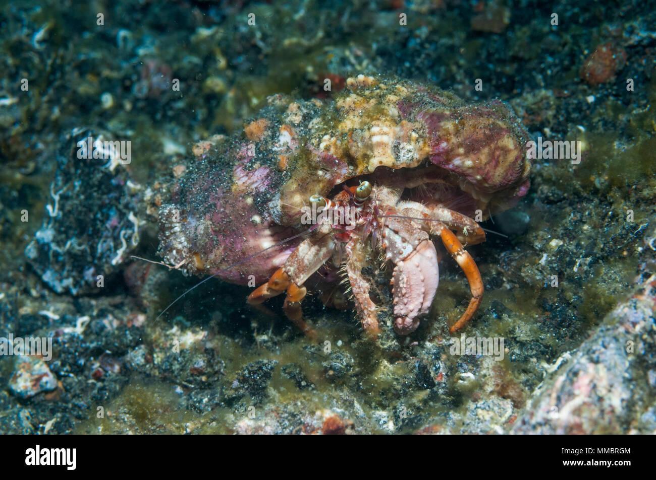 Jeweled anemone hermit crab [Dardanus gemmatus].  Lembeh Strait, North Sulawesi, Indonesia. - Stock Image