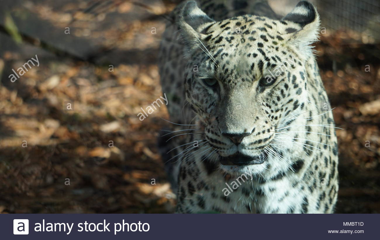 snow leopard puppy in a zoo cage in the sun - Stock Image