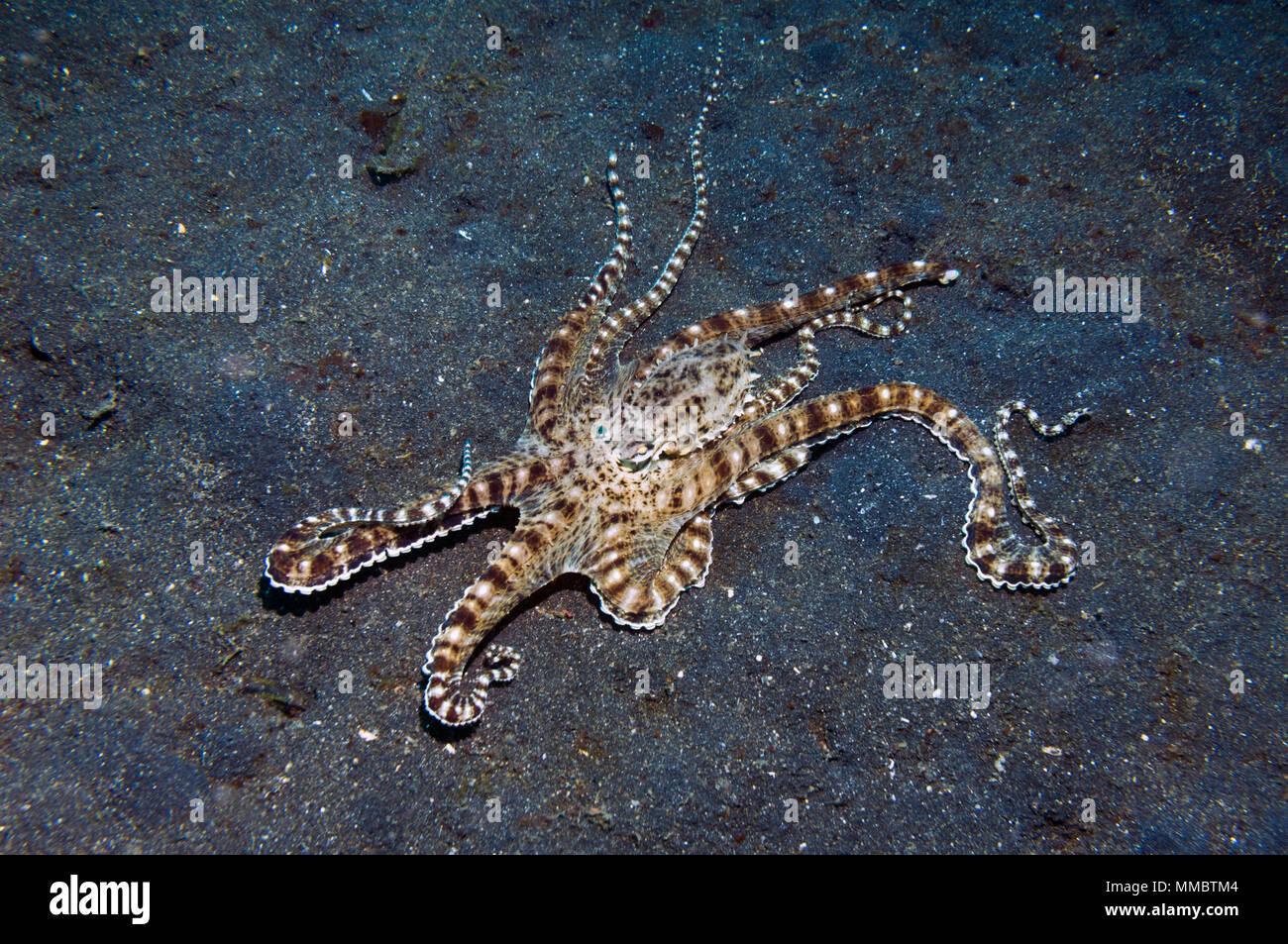Mimic octopus [Thaumoctopus mimicus].  Lembeh Strait, Sulawesi, Indonesia. - Stock Image