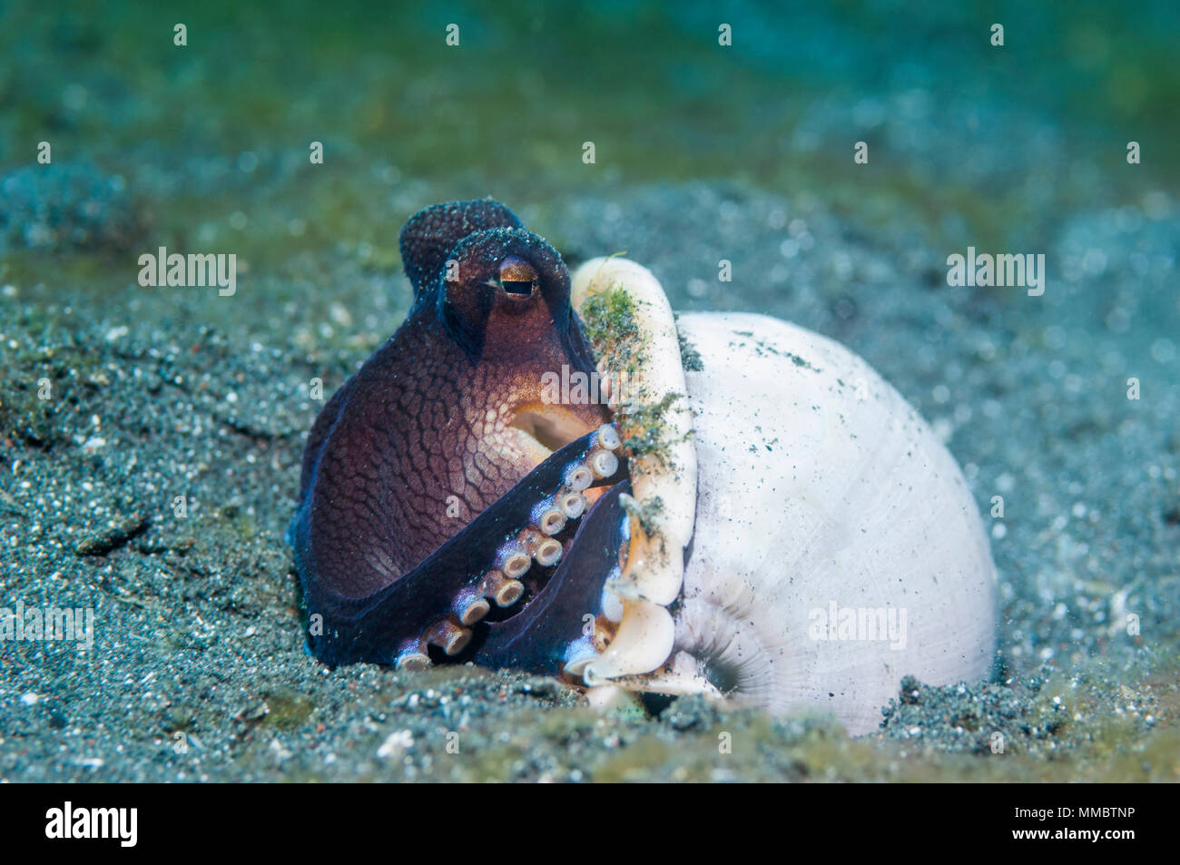 Veined octopus [Octopus marginatus].  This octopus can bury in the sand or mud but frequently hides in shells or pieces of coconut shells.  Lembeh Str - Stock Image