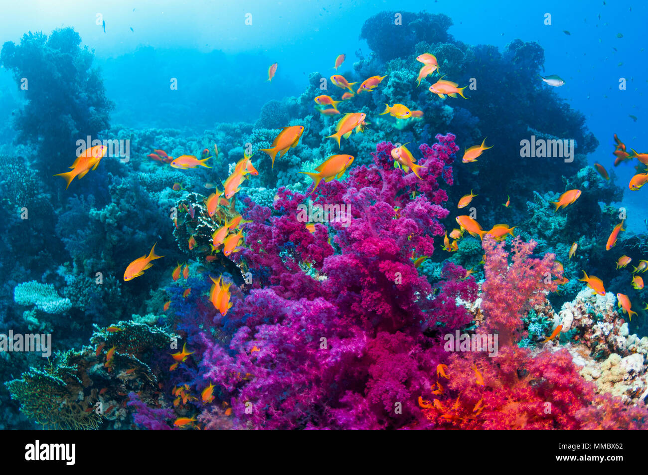 Soft corals with Lyretail anthias.  Egypt, Red Sea. - Stock Image
