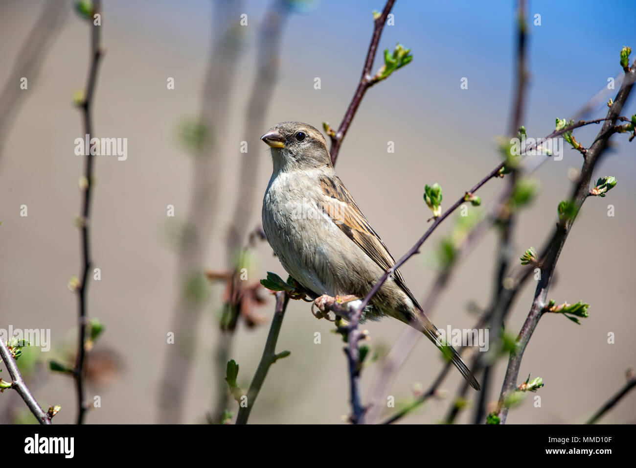 Female House Sparrow Passer Domesticus perched in a hawthorn bush in Spring - Stock Image