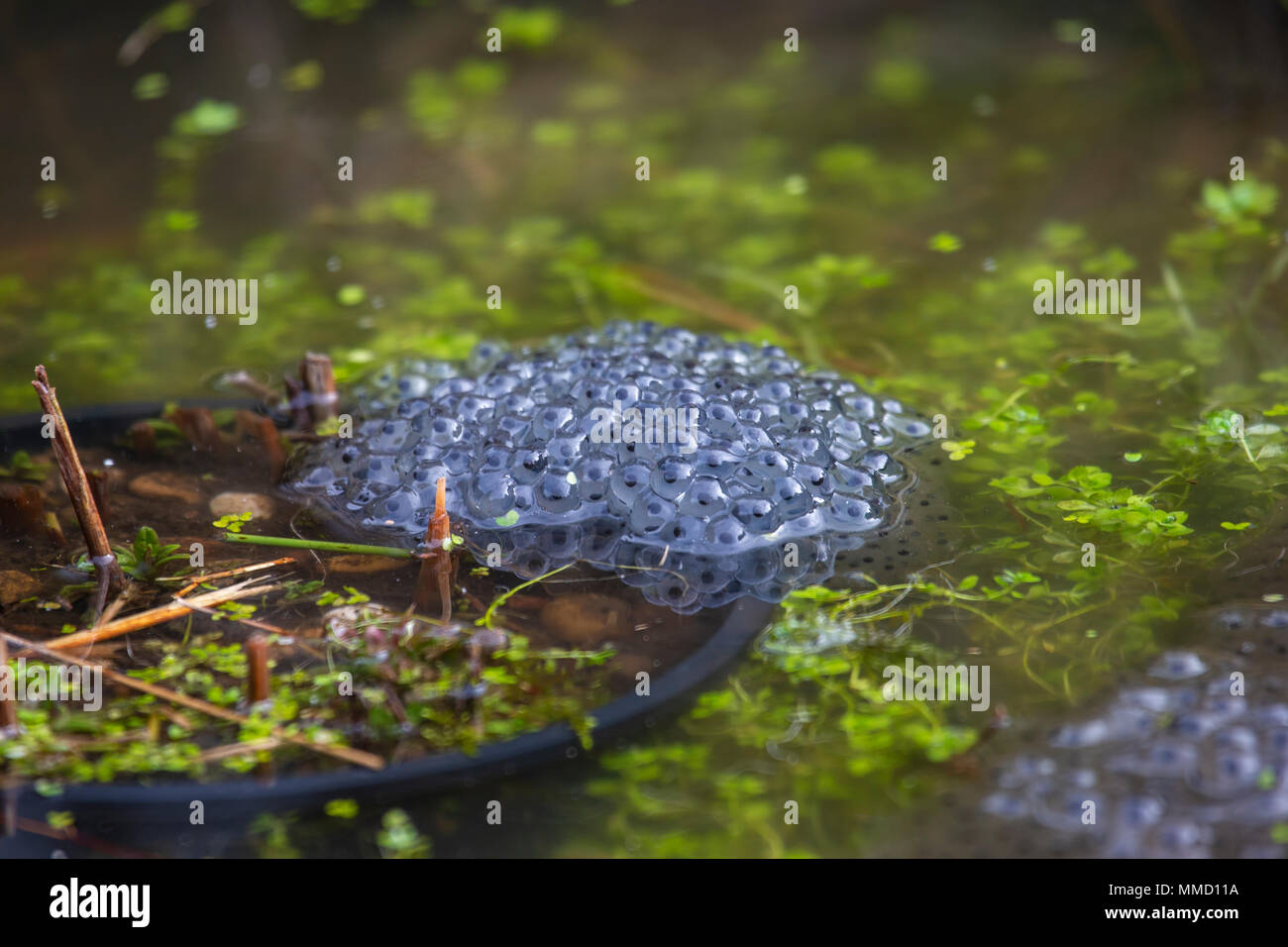 Common frog spawn in domestic garden pond - Stock Image