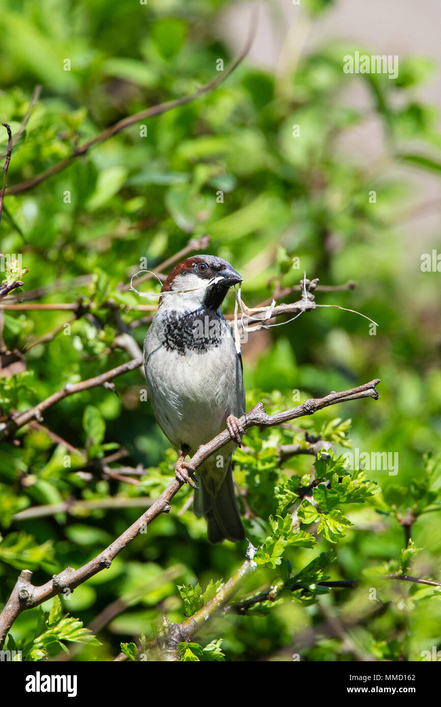 Male House Sparrow Passer Domesticus with straw nesting material in its bill - Stock Image
