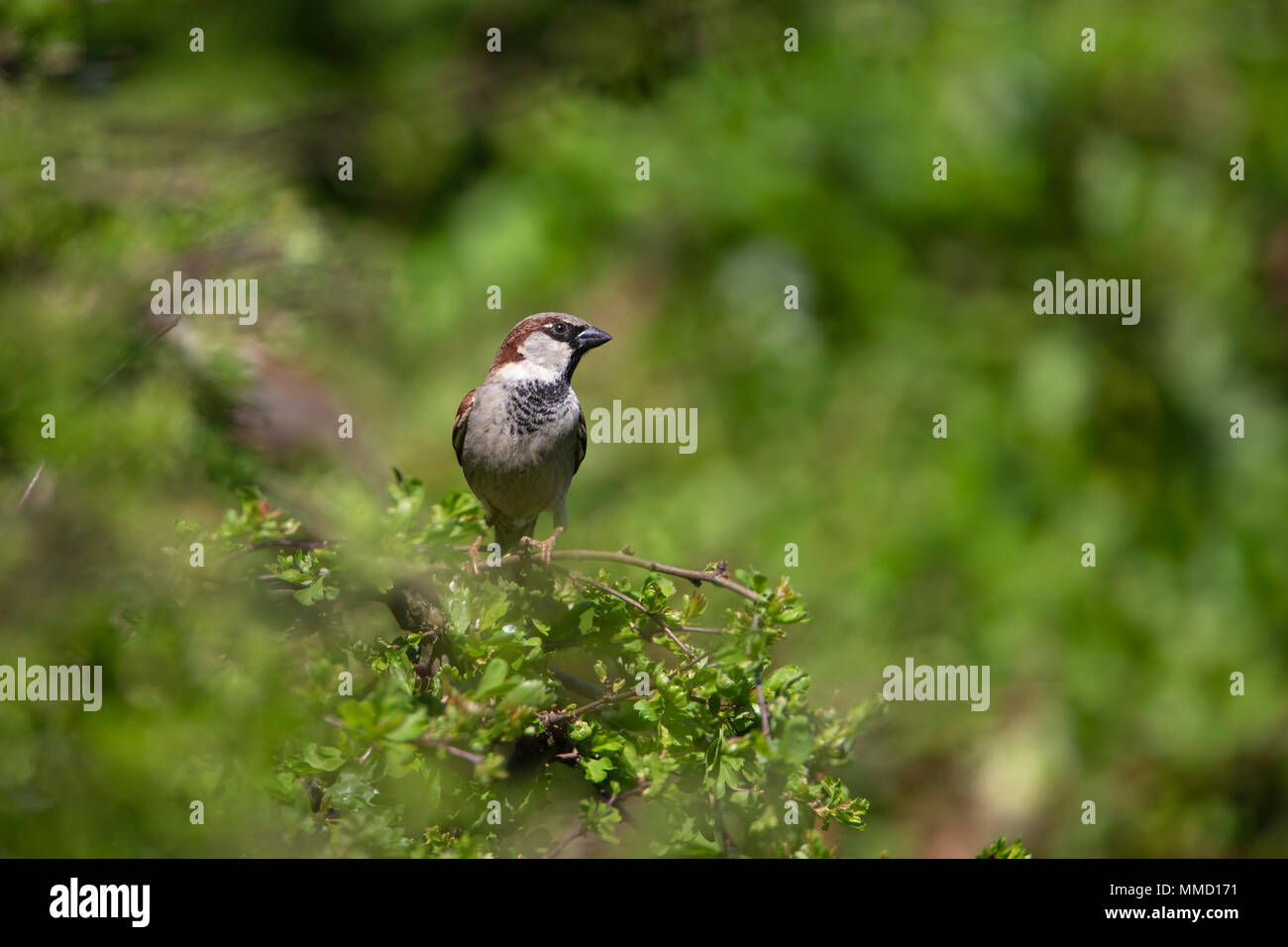 Male House Sparrow Passer Domesticus perched on a pyracantha plant against a green foliage background - Stock Image