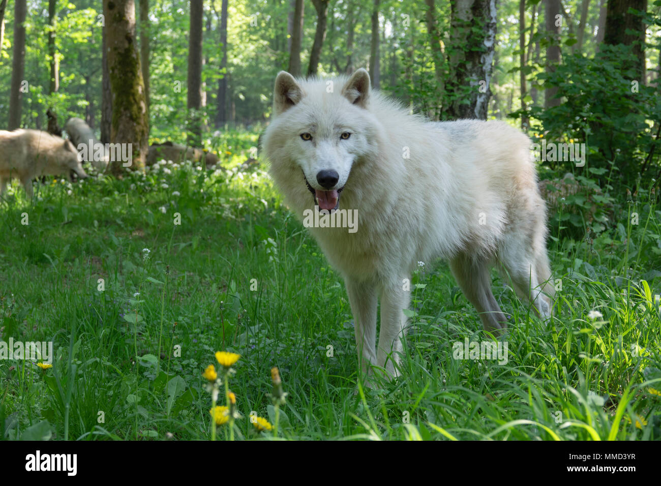 Arctic wolf in a forest - Stock Image