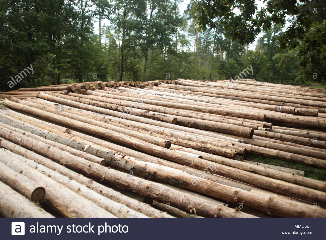 On 25 March 2016, Jan Szyszko, Poland's Environment Minister, announced that he would approve a tripling of logging in the forest, almost exhausted at - Stock Image