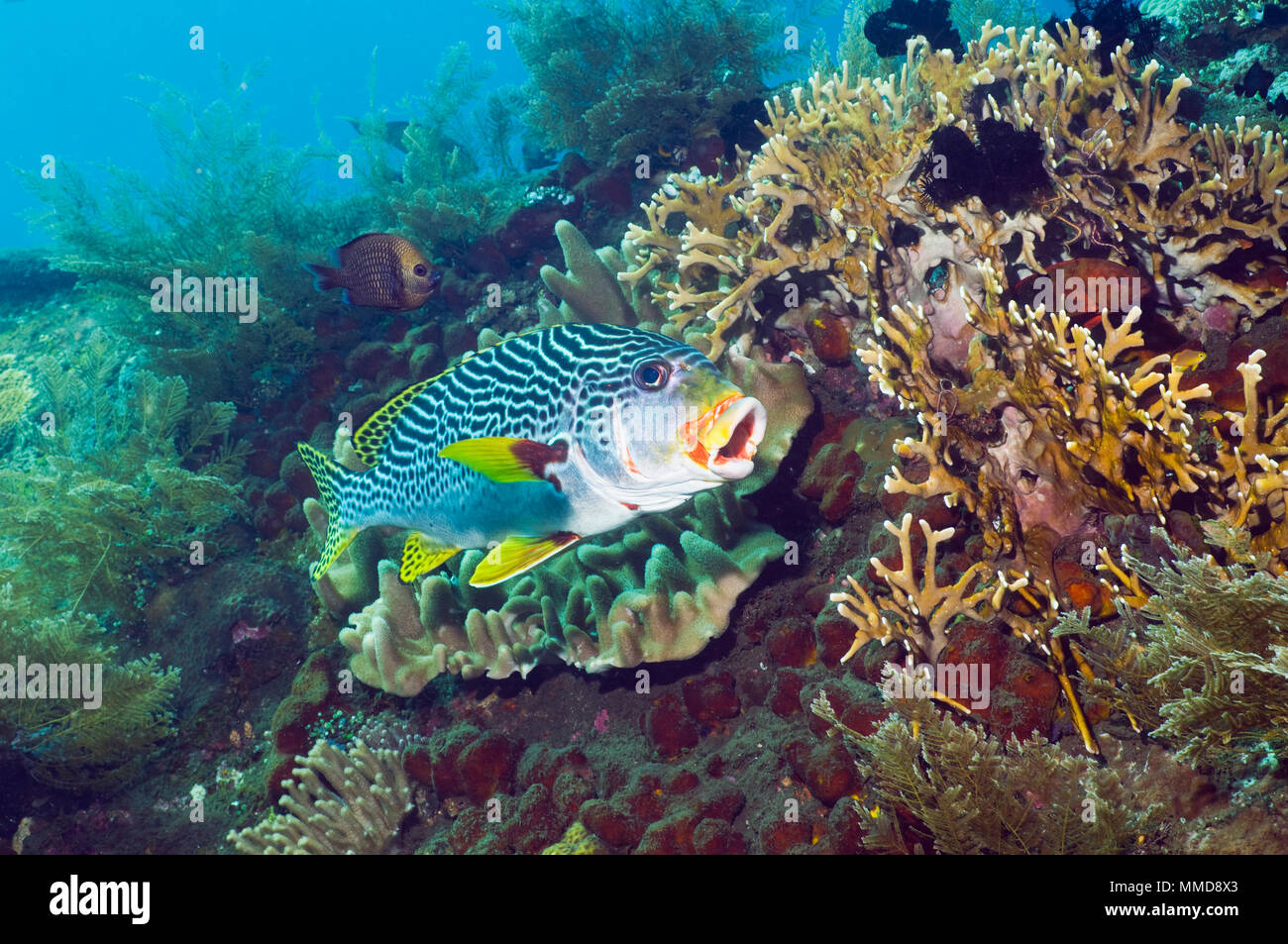 Lined sweetlips (Plectorhinchus lineatus).  Bali, Indonesia.  (Digital capture). - Stock Image