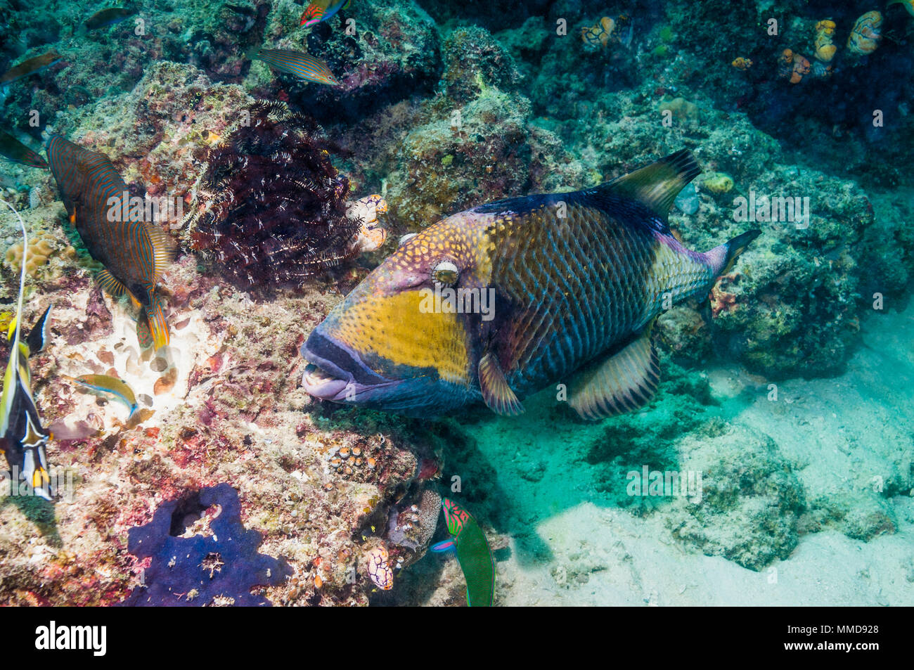 Titan triggerfish [Balistoides viridescens] cutting up coral rock, looking for prey.  The fish most feared by scuba divers because of its extremely ag - Stock Image