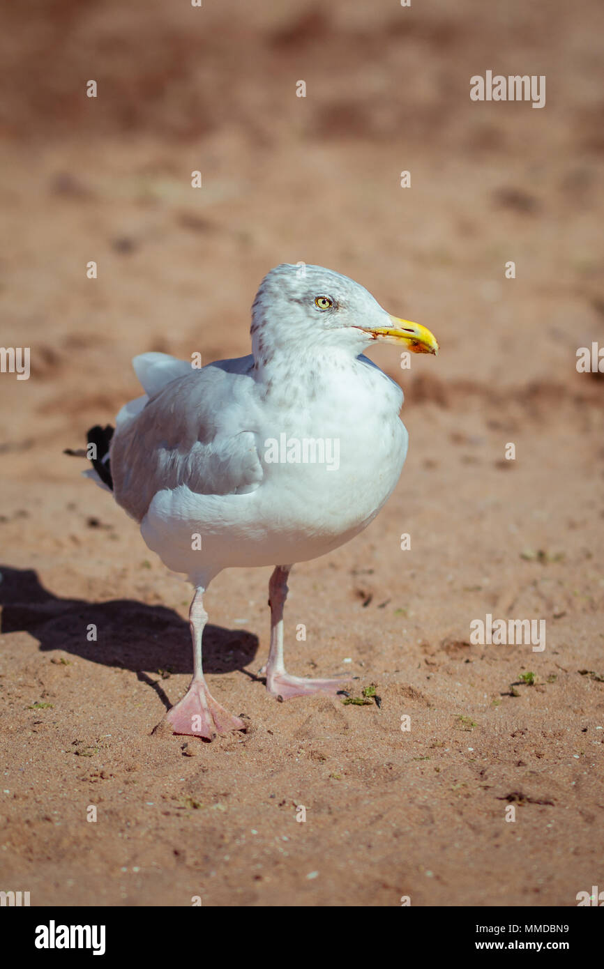 Adult Herring Seagull on British Beach Searching for Food - Stock Image