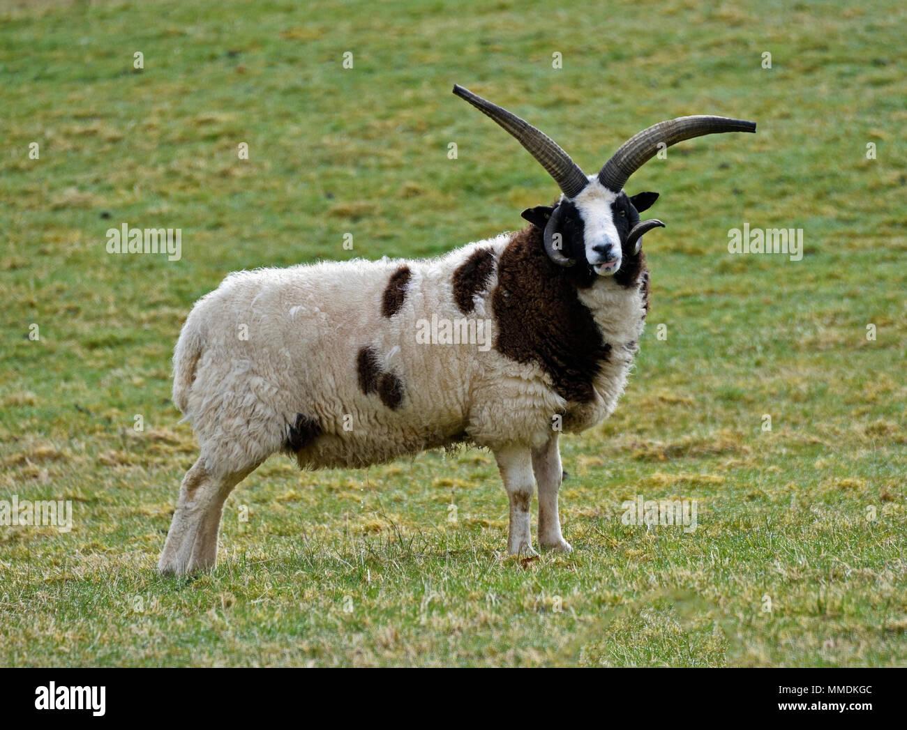 Jacob Sheep. Cleghorn, Lanarkshire, Scotland, United Kingdom, Europe. - Stock Image