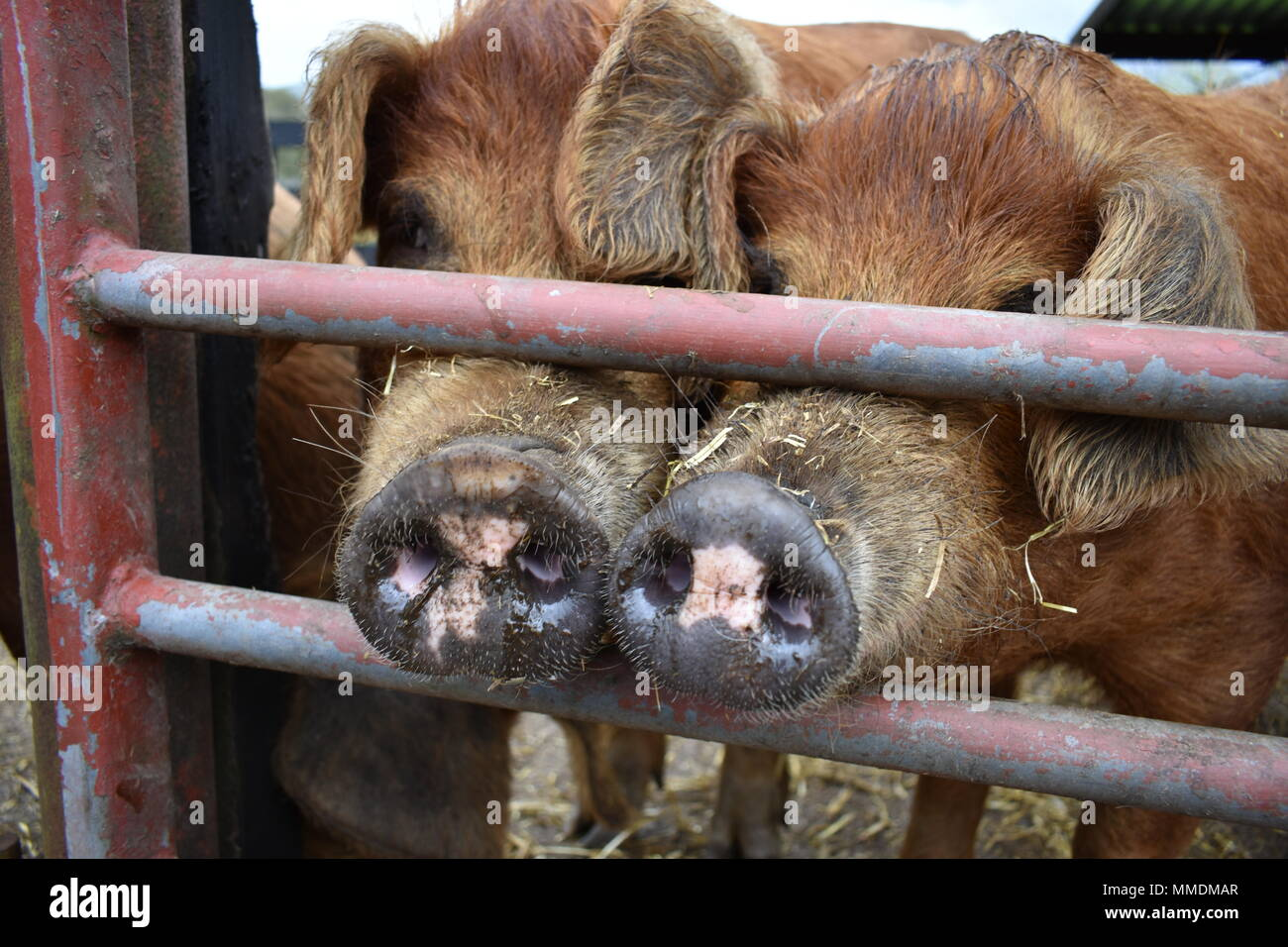 Pig Snouts at a farm in the Lake Dsitrict - Stock Image