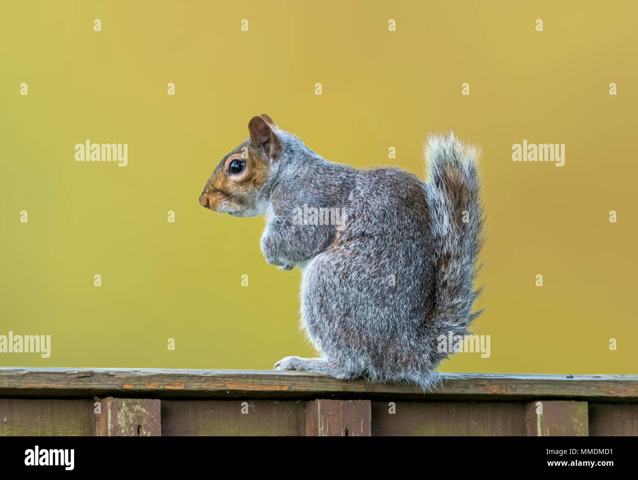 Eastern Grey Squirrel (Sciurus carolinensis) sitting on a fence in Spring in West Sussex, England, UK. Eastern Gray Squirrel. - Stock Image