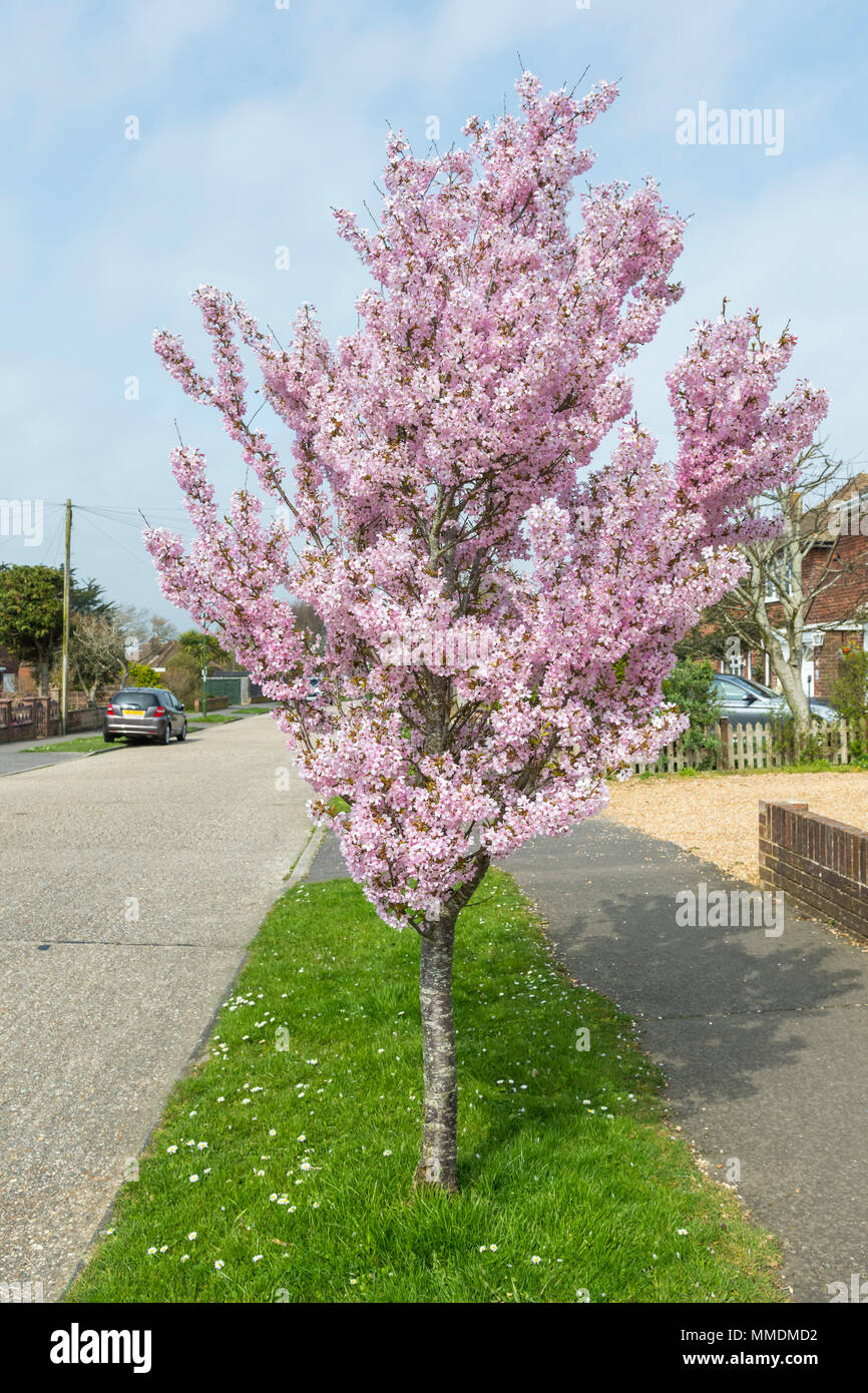 Pink Blossom Small Tree Stock Photos Pink Blossom Small Tree Stock