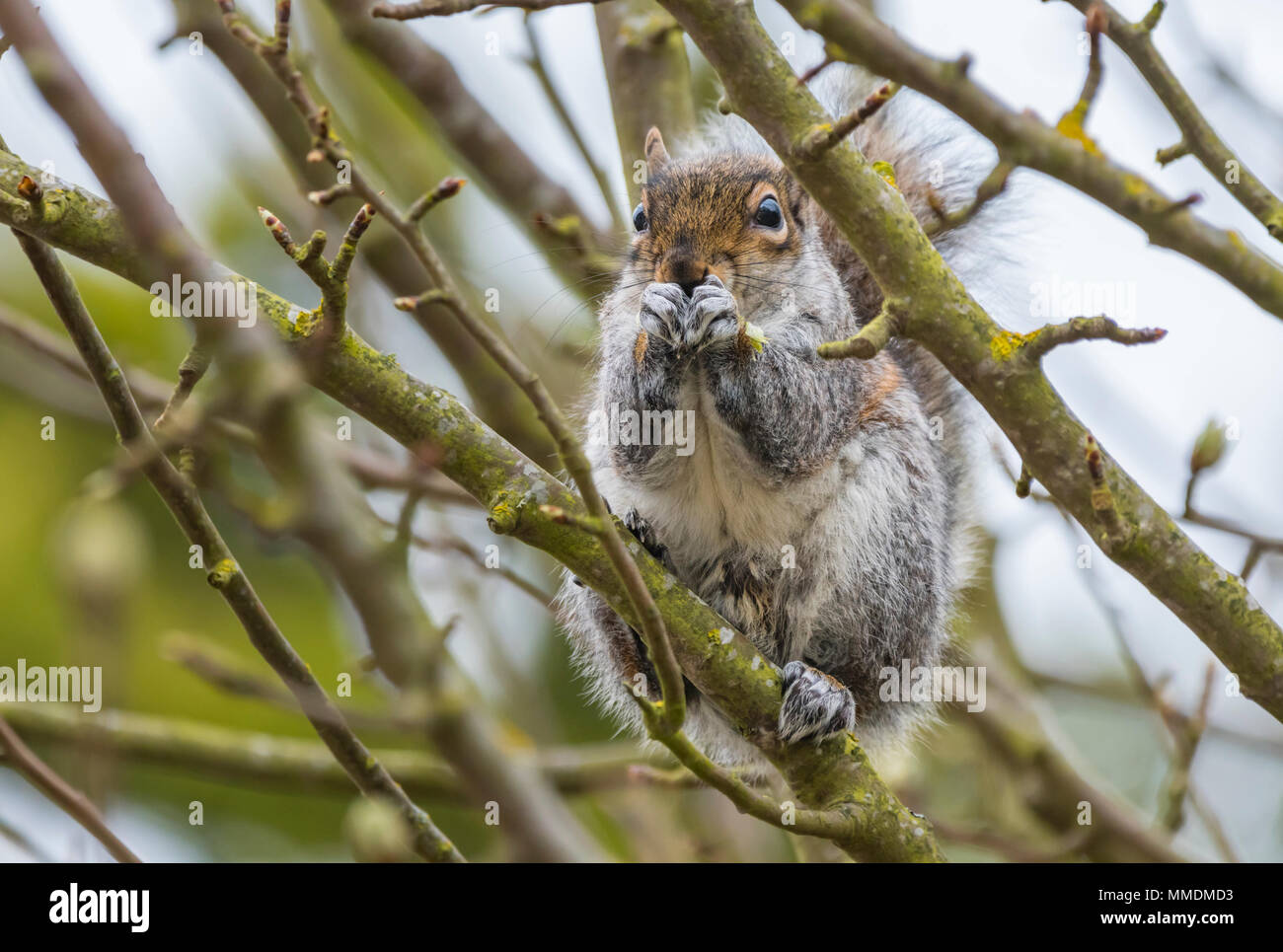 Eastern Grey Squirrel (Sciurus carolinensis) sitting in a tree eating a nut in Spring in West Sussex, England, UK. Eastern Gray Squirrel. - Stock Image