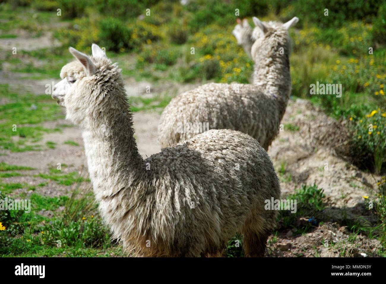Llamas in the Arequipa Region - Stock Image