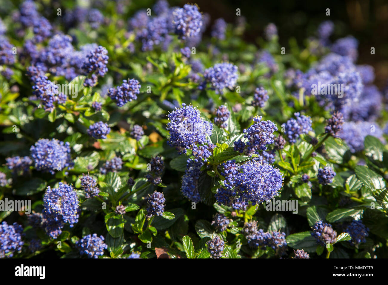 Ceanothus thyrsiflorus repens blue blossom or blue blossom ceanothus thyrsiflorus repens blue blossom or blue blossom ceanothus is evergreen and provides excellent ground cover with a mass of blue flowers i izmirmasajfo