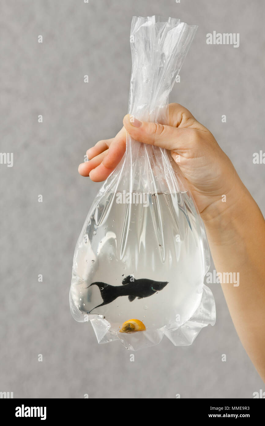 package with a purchased aquarium fish in hands of aquarist Stock Photo