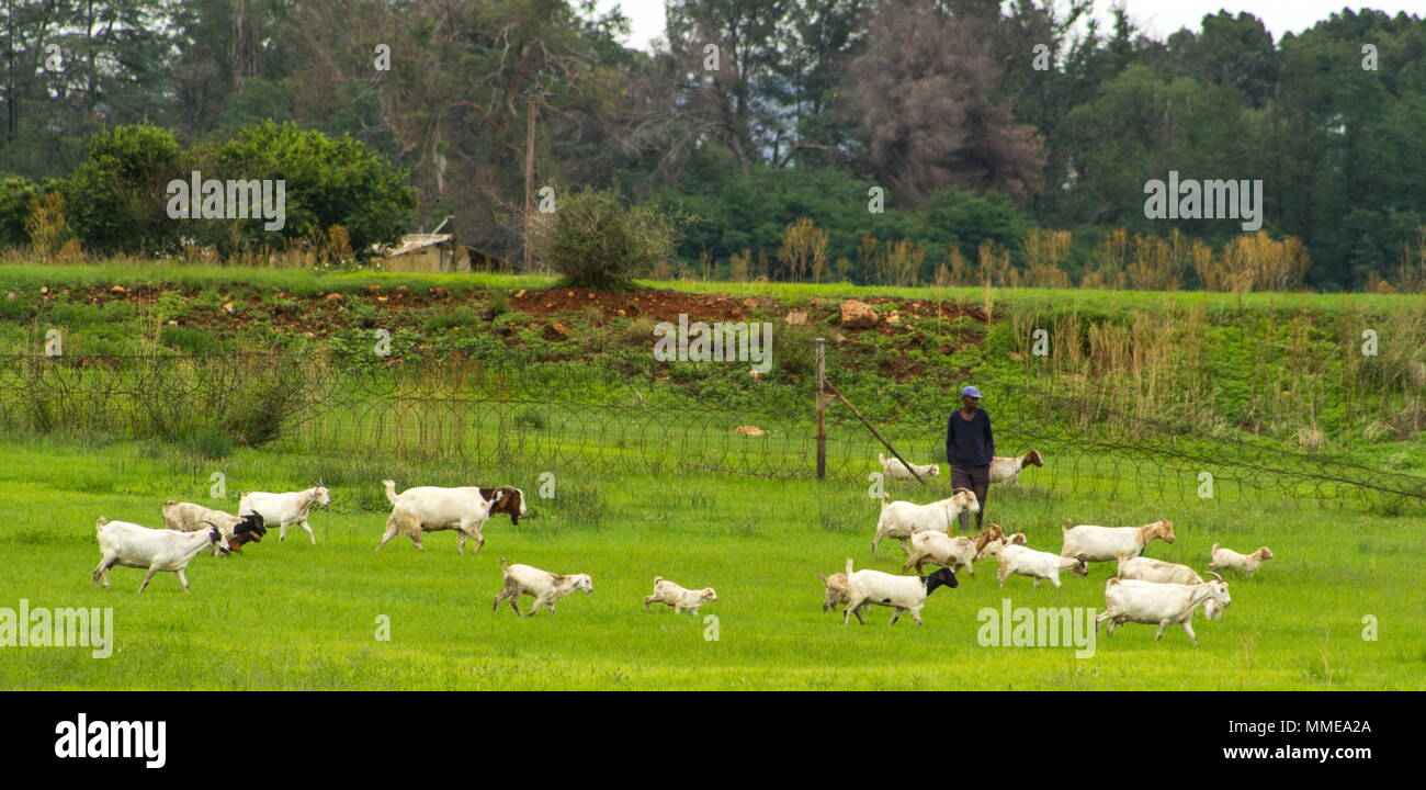 Johannesburg, South Africa - unidentified subsistence farmer with his herd of goats image with copy space in landscape format - Stock Image