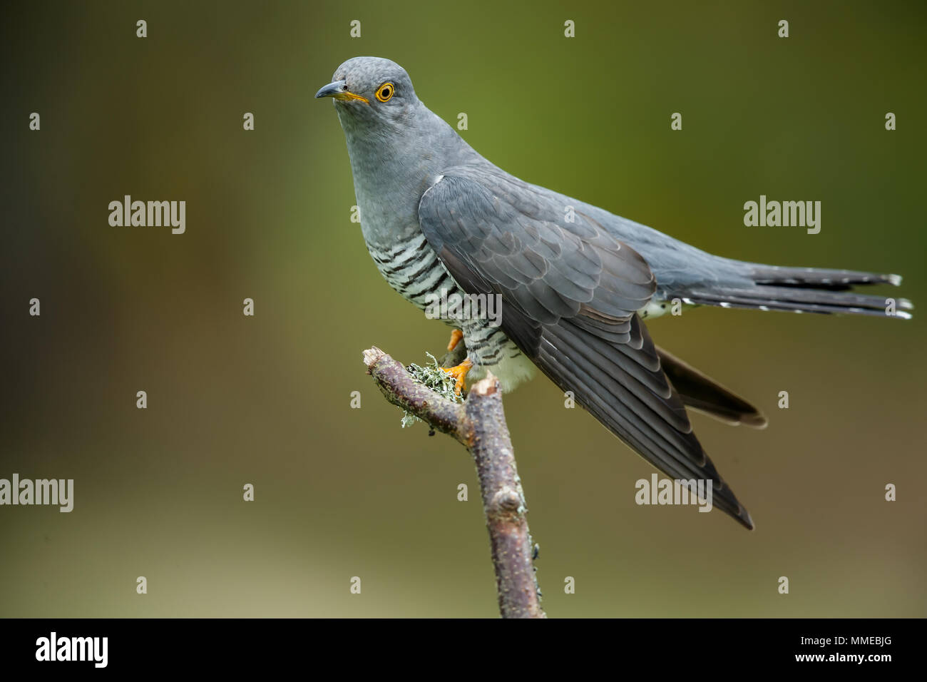 An Eurasian or Common cuckoo - Stock Image