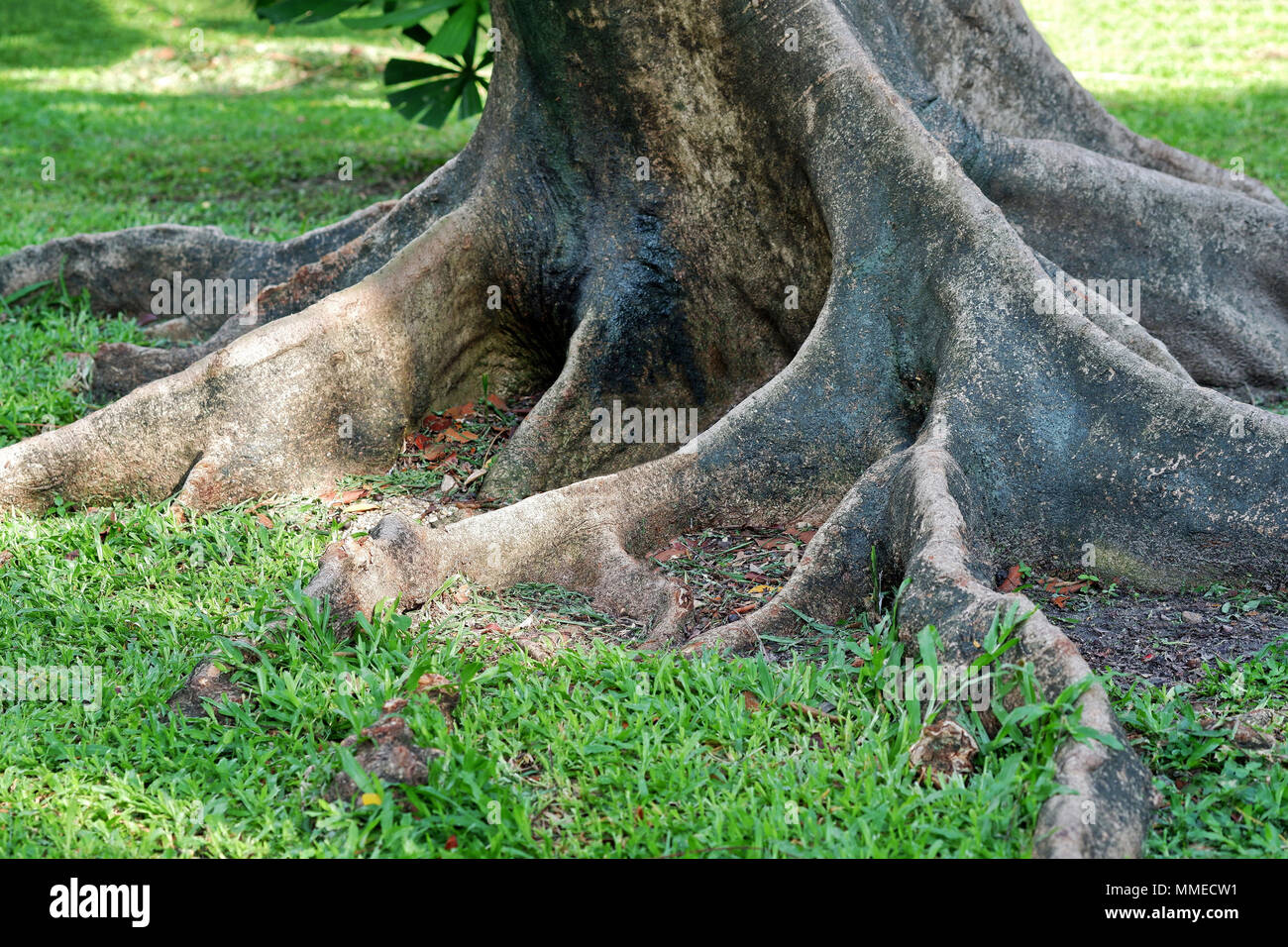 Closeup of Giant Tree Roots - Stock Image