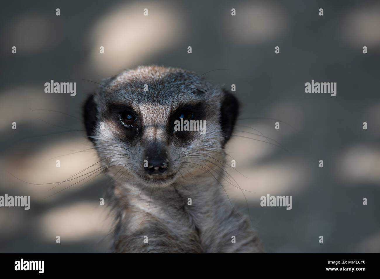Cute Meerkat - Stock Image