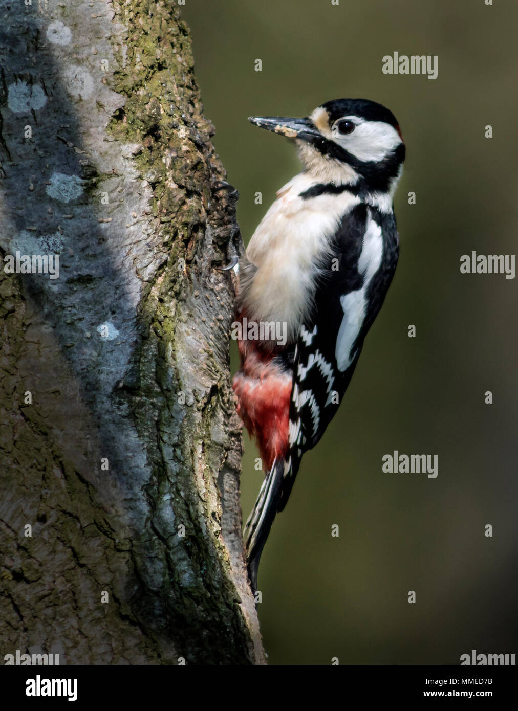 Greater Spotted Woodpecker (Dendrocopos major) Stock Photo
