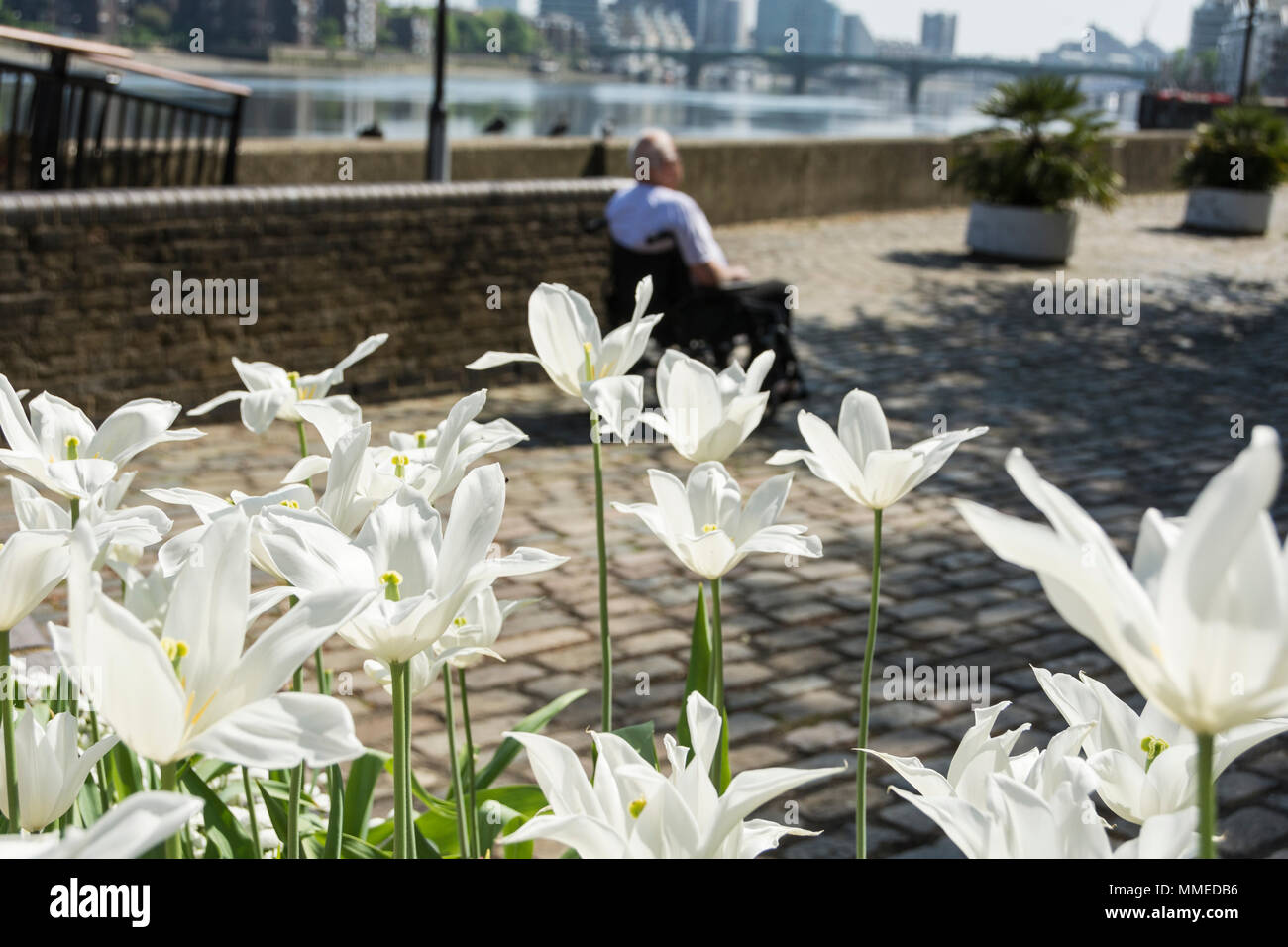 Disability Awareness week - An elderly man in a wheelchair surrounded by white lilies - Stock Image