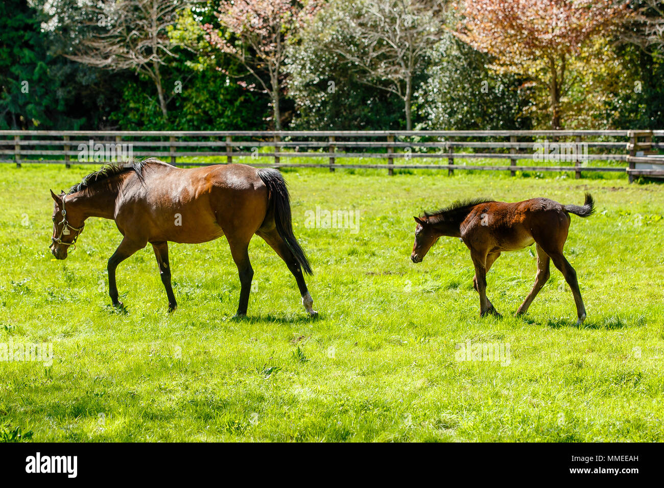 Thoroughbred brood mare with foal grazing in a pasture at the Palmerstown House Estate, County Kildare Ireland. - Stock Image