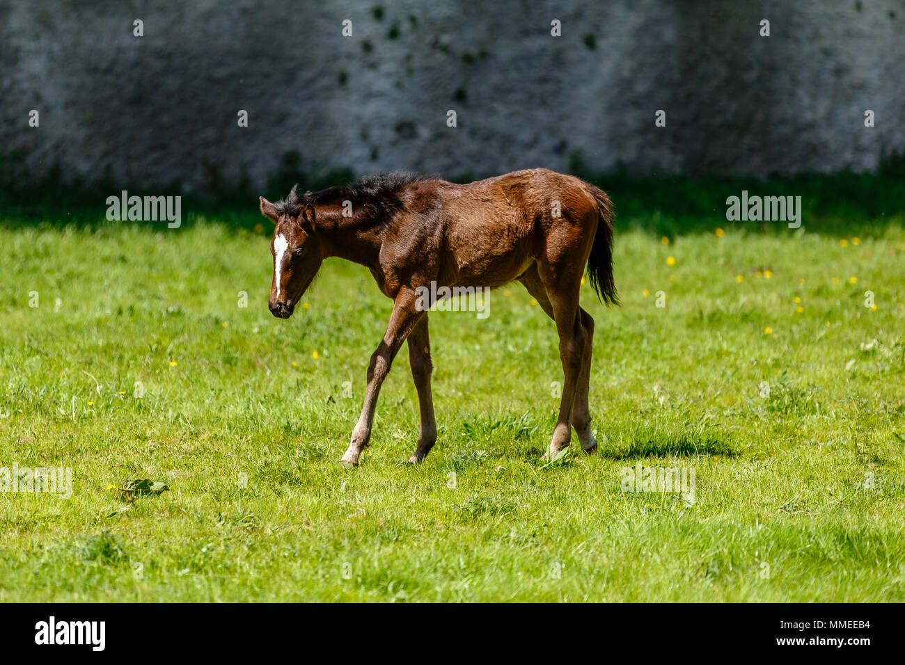 Thoroughbred foal grazing in a pasture at the Palmerstown House Estate, County Kildare Ireland. - Stock Image