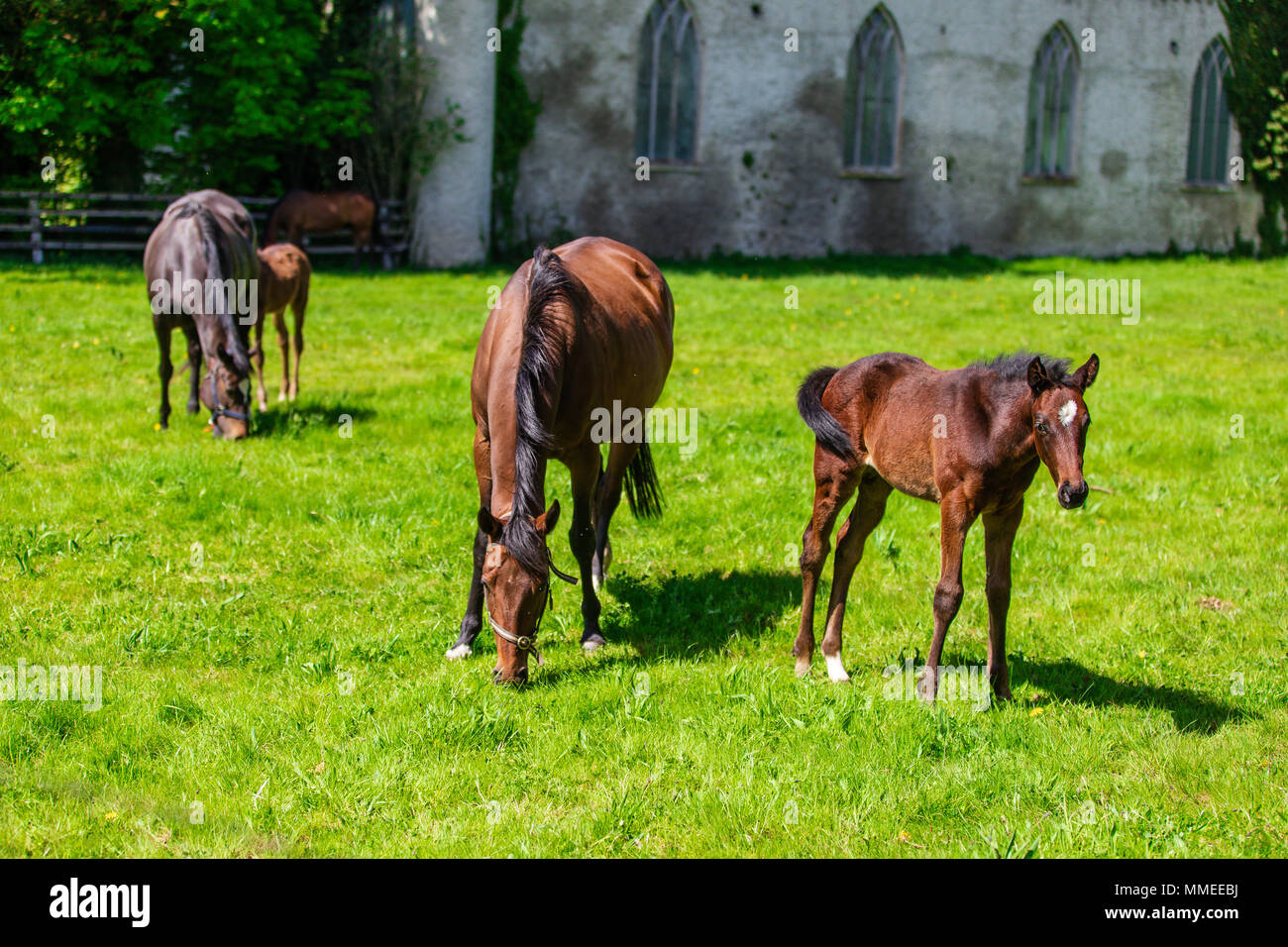 Thoroughbred brood mares with foals grazing in a pasture at the Palmerstown House Estate, County Kildare Ireland. - Stock Image