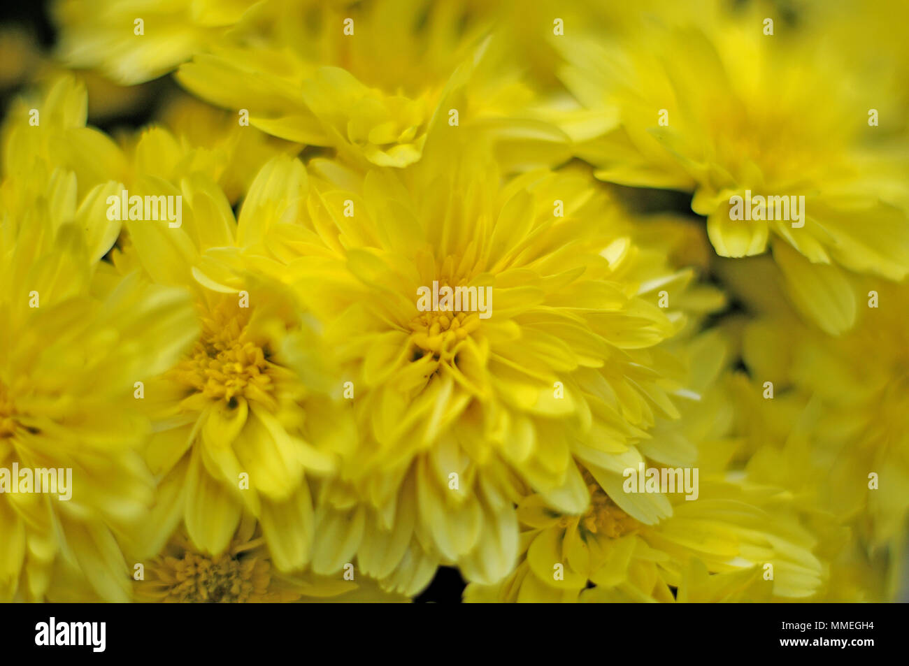 Yellow flowers of garden mums stock photo 184717152 alamy yellow flowers of garden mums mightylinksfo