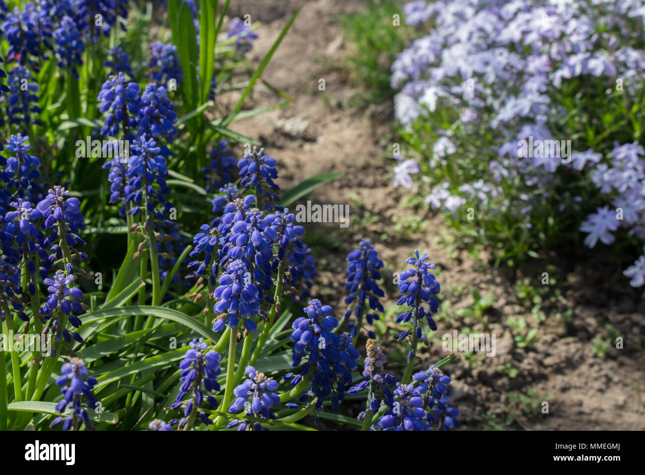 Blue Muscari Flowers On Blurred Green Grass Background In Spring