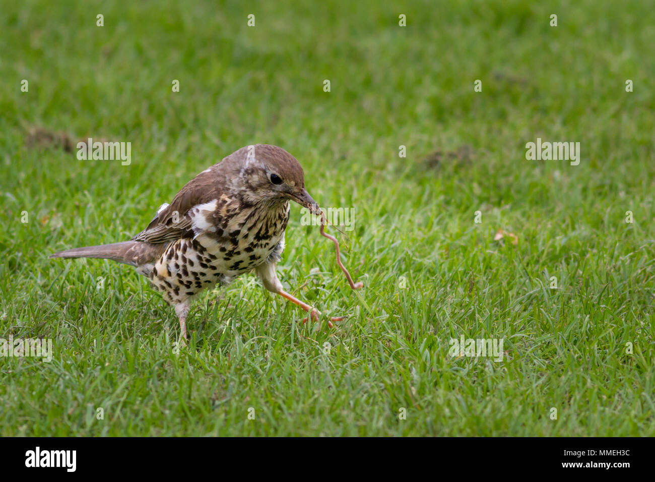 UK wildlife: mistle thrush tug of war with a worm sends it off balance as it wins the prize, West Yorkshire - Stock Image