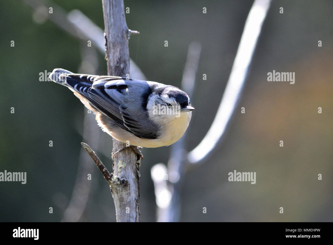 Portrait of white-breasted nuthatch, Sitta carolinensis - Stock Image