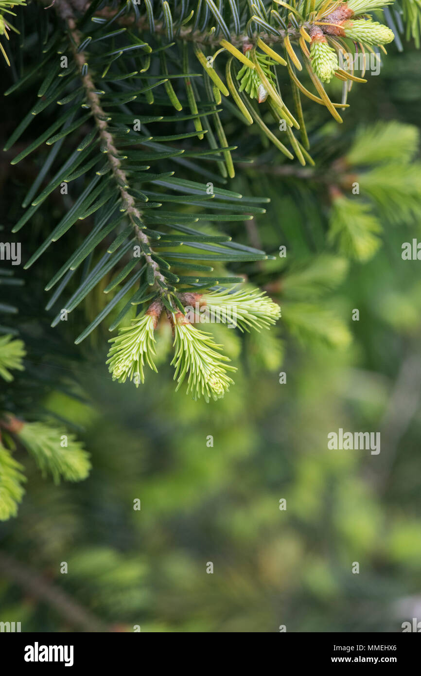 Abies cilicica subsp. cilicica. Cilician fir foliage in spring. UK - Stock Image