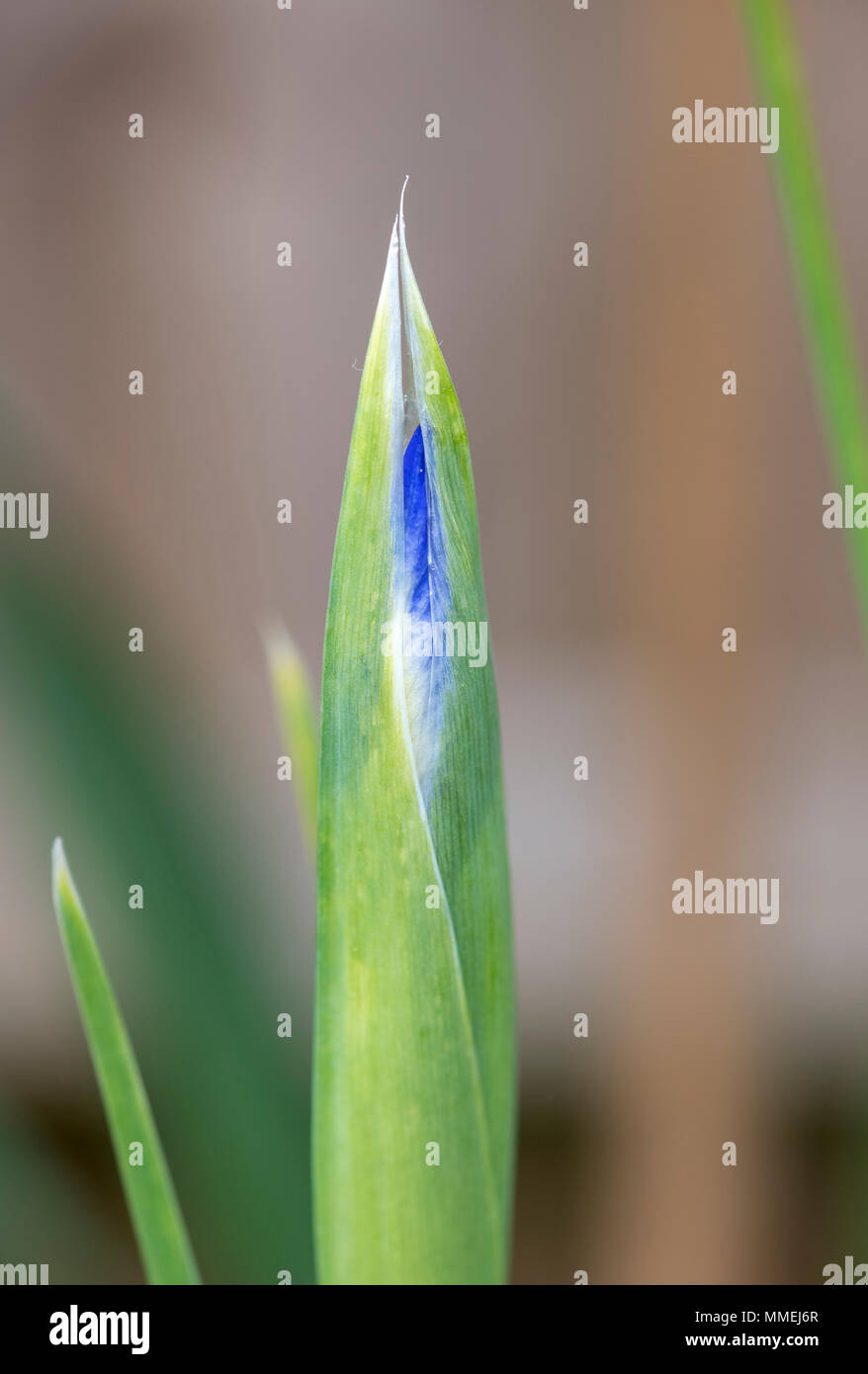 Fleur De Lotus Dijon de bud stock photos & de bud stock images - alamy