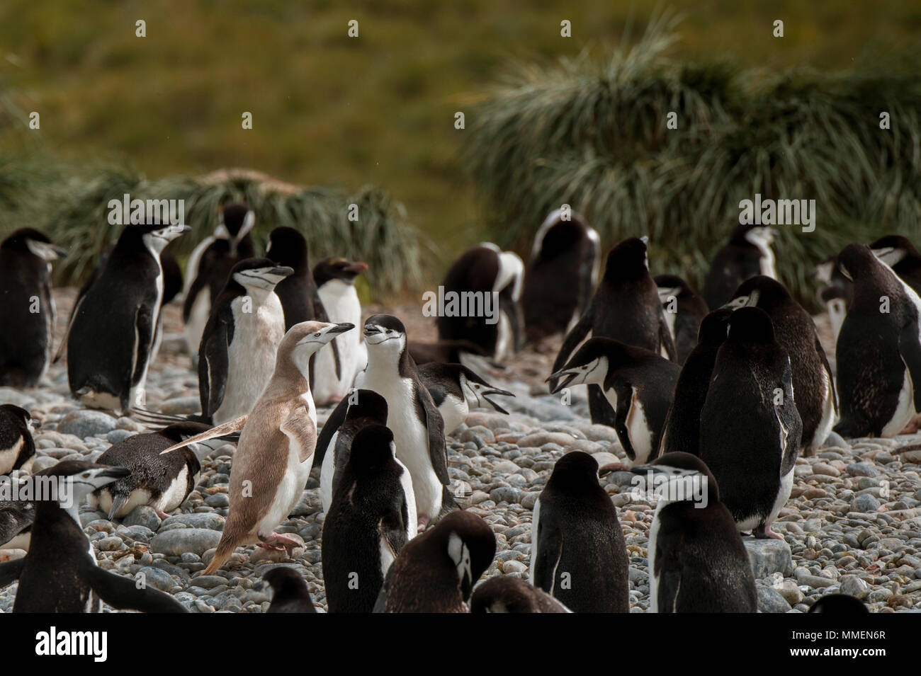 British Overseas Territory, South Georgia, Cooper Bay. Macaroni and chinstrap penguins on beach. One 'blonde' chinstrap penguin. - Stock Image