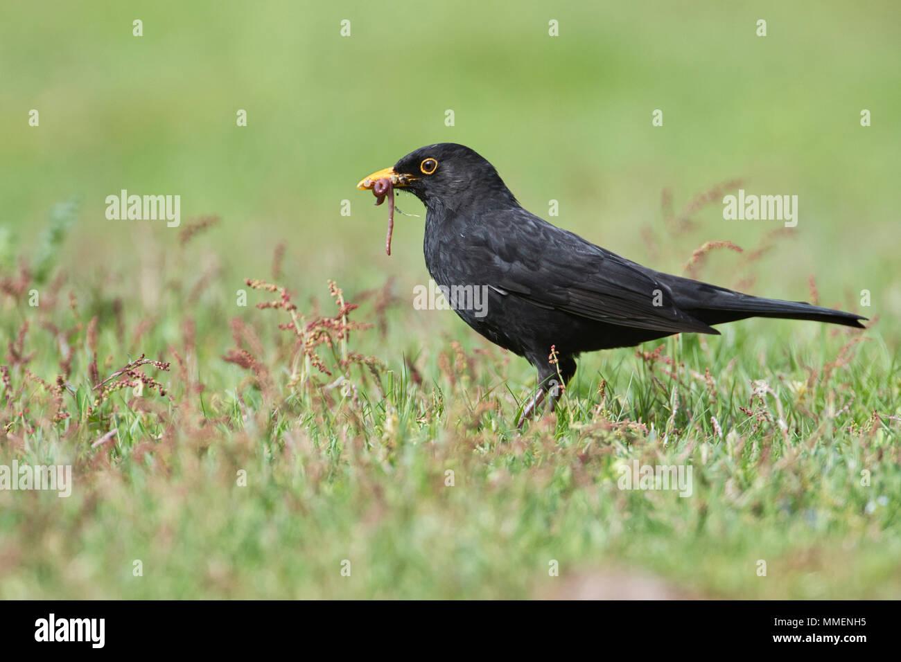 Male blackbird (Turdus merula) gathering invertebrate food for chicks - Stock Image