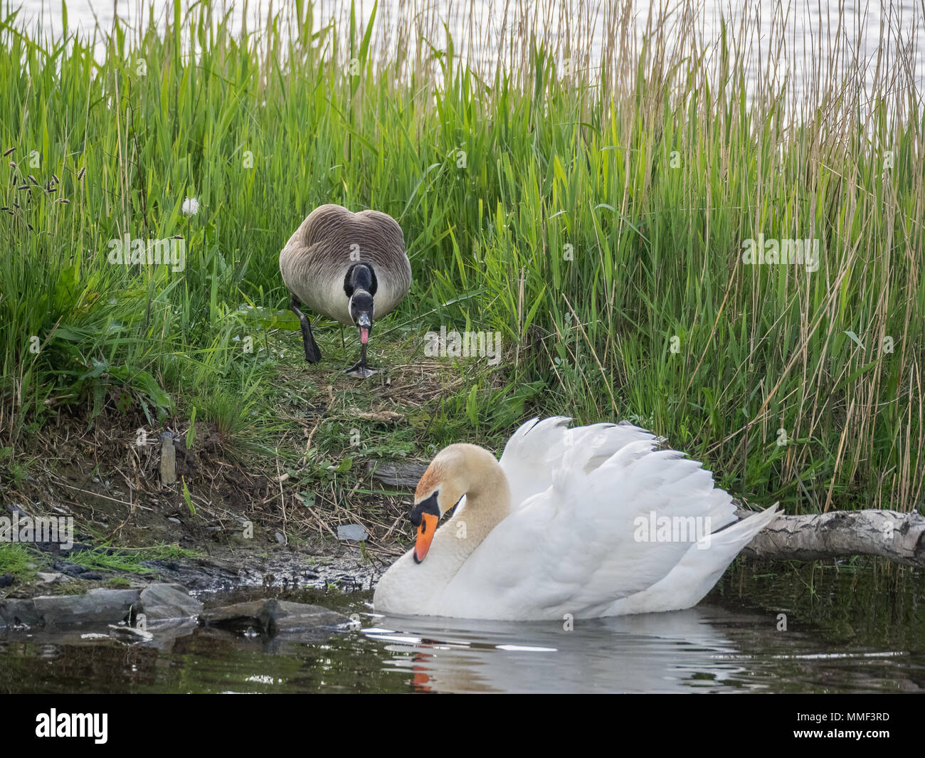 Canada Goose defending territory from Swan, Teifi Marshes, Cardigan, Wales Stock Photo