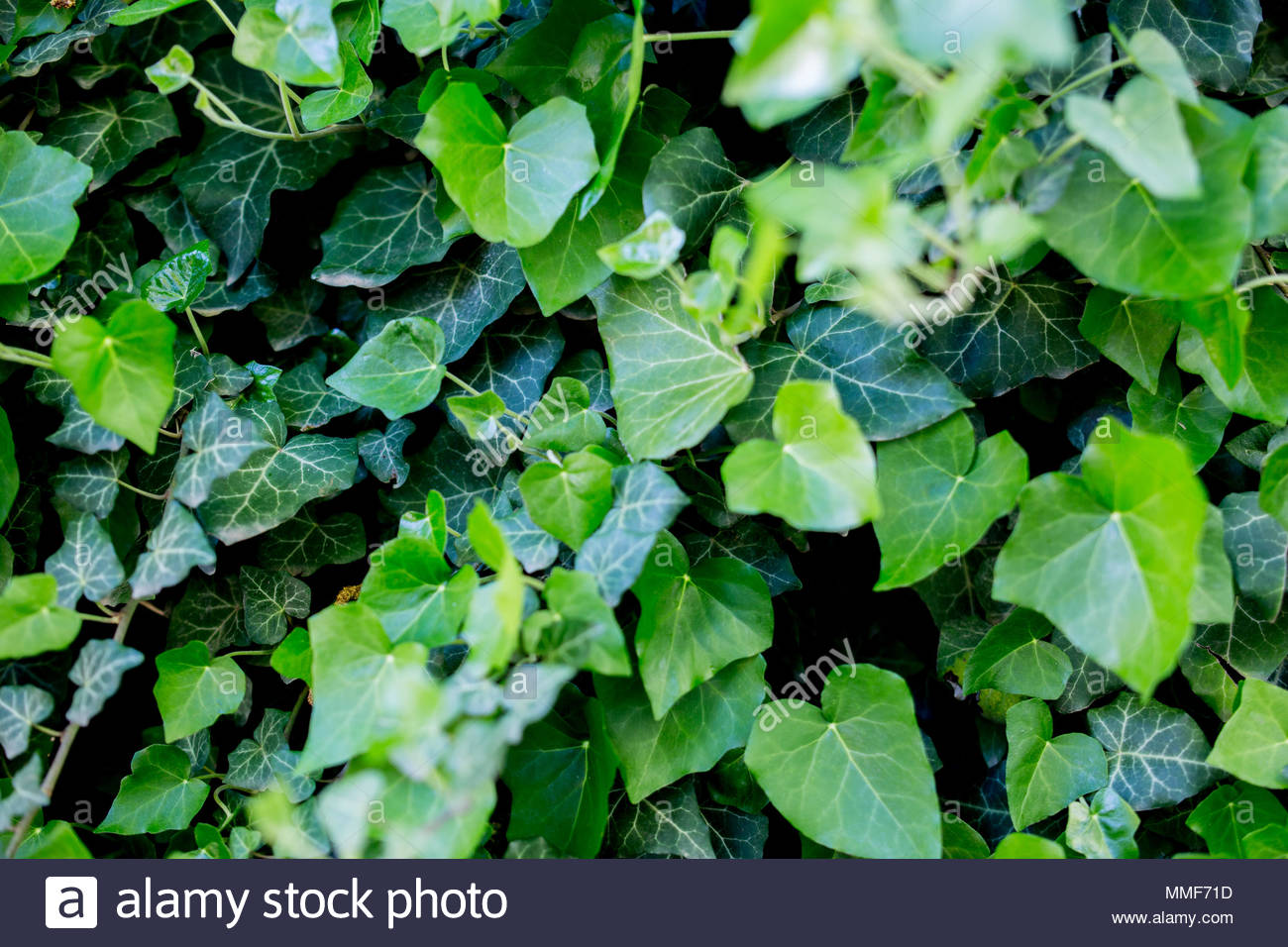 Ivy Wallpaper Background Textures Stock Photo 184731609 Alamy