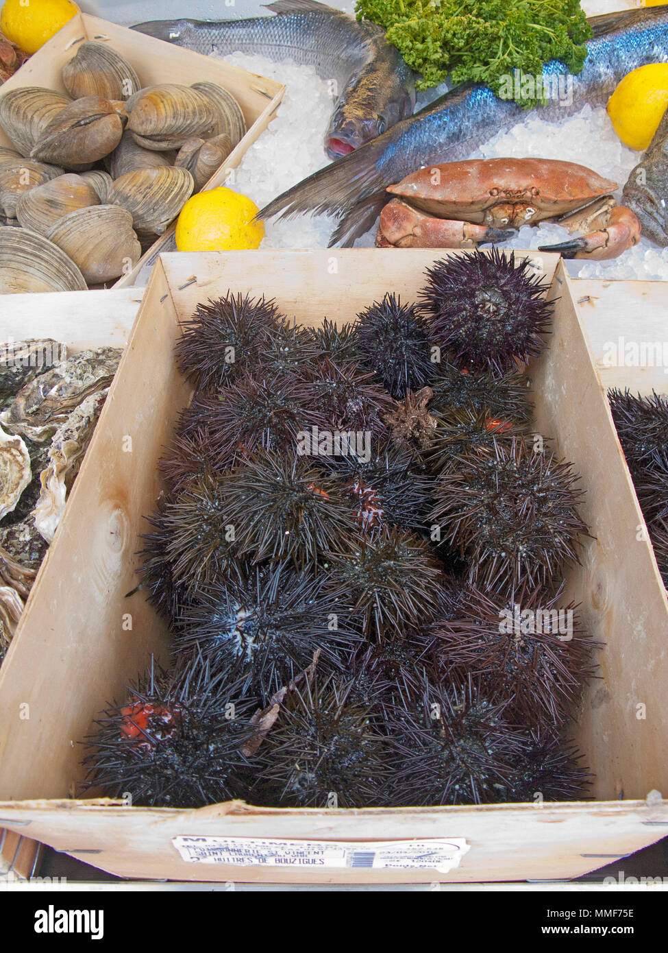Fresh Sea urchins at a seafood restaurant at place Cours Saleya, Nice, Côte d'Azur, Alpes-Maritimes, South France, France, Europe - Stock Image