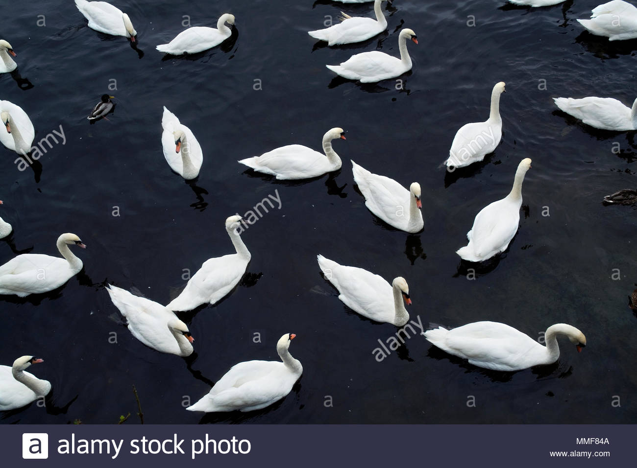 Elevated view of Swans swimming in water. - Stock Image
