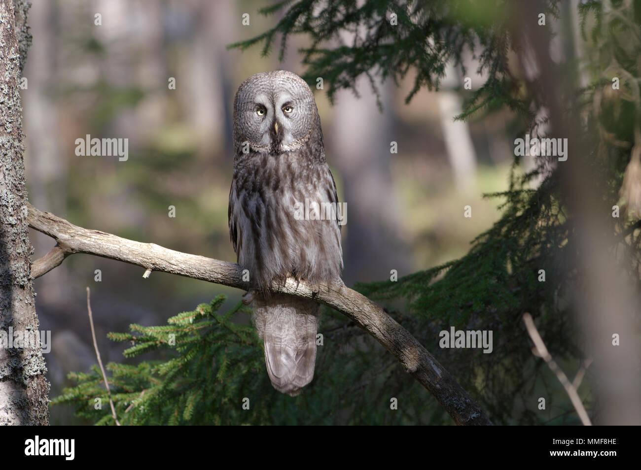 Great grey owl, Strix Nebulosa, Estonia 2018 - Stock Image